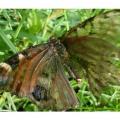 vlinder-5-600x400